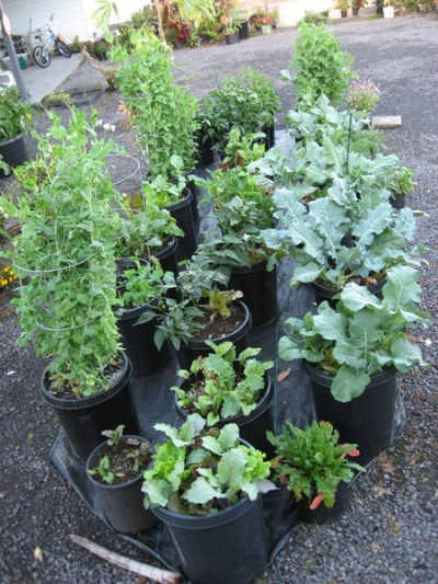 Peas, Beets, Collards, Brocolli, Peppers in 60 liter (15 gallon) pots.