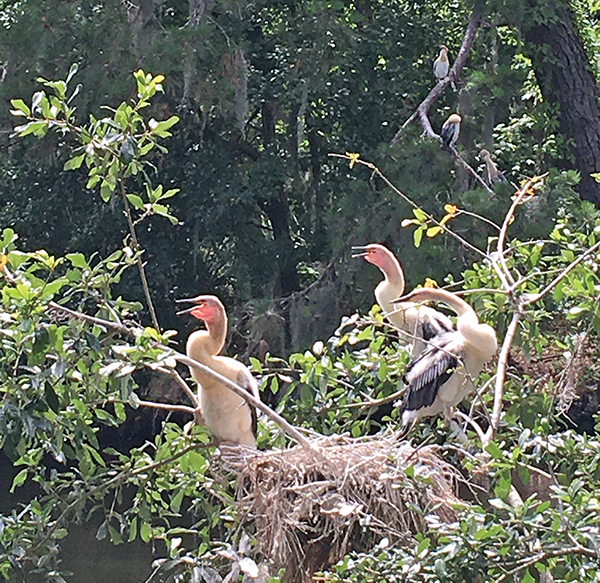 This nest of fledgling anhingas captured the attention of golfers at the Country Club of Hilton Head in April. JIM JUDKIS