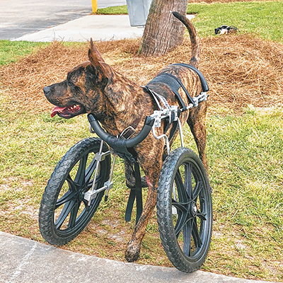 Barin's story of healing continues with the addition of new wheels to give him mobility. COURTESY PALMETTO ANIMAL LEAGUE