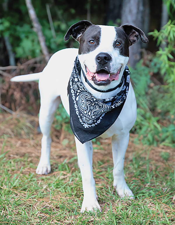 Roscoe is ready to fall in love again with new family. COURTESY PALMETTO ANIMAL LEAGUE