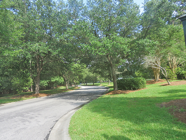 These live oaks along Argent Way in Sun City were planted many years ago. Mature oaks provide ample shade, habitat for birds and other critters, and one tree releases enough oxygen to support two adults. ROSEMARY T. SMITH