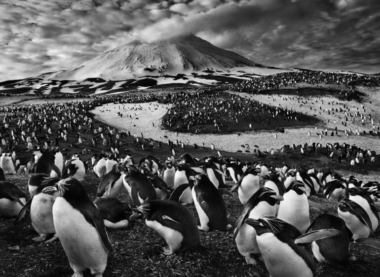 1%29 macaroni penguins on zavodovski island  the sandwich islands  2009