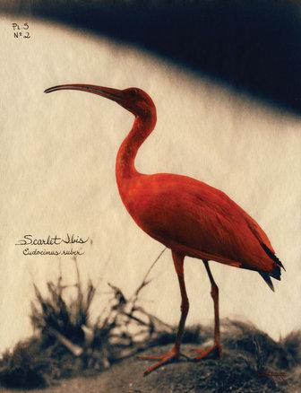 1%29 scarlet ibis, 2003