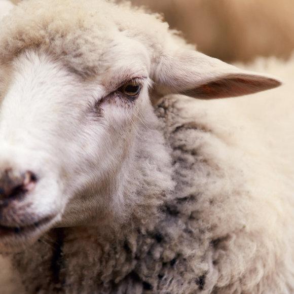 3rd Annual Eastern NSIP Sheep Sale