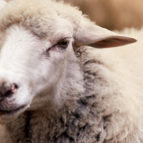 3rd Annual Eastern NSIP Sheep Sale   RES Auction Services