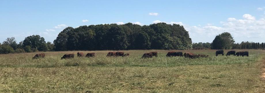 Bankruptcy Dispersal of Cattle Herd - Black Angus Cross