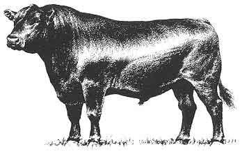 Smith Creek Angus Farm On Farm Bull Sale