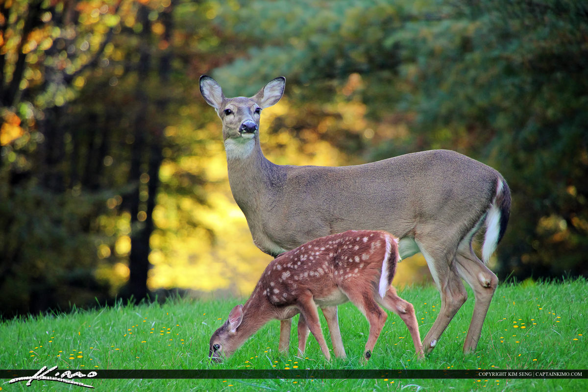 Mother Deer and Baby Fawn at Blue Ridge Mountain Parkway North Carolina