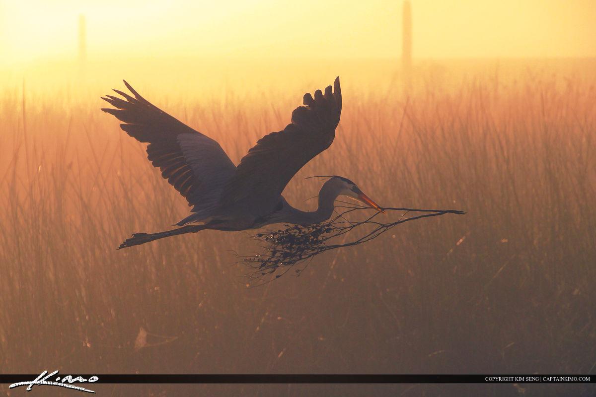 Blue Heron Foggy Morning Viera Wetlands
