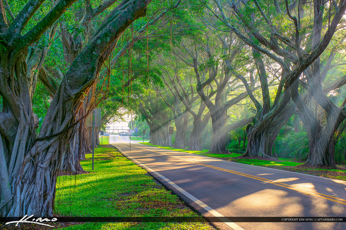 Banyan Trees with Rays Bridge Road Hobe Sound Florida