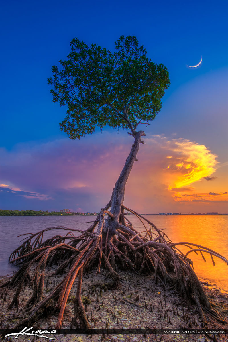 Mangrove Tree Under Crescent Moon At Lagoon Hdr