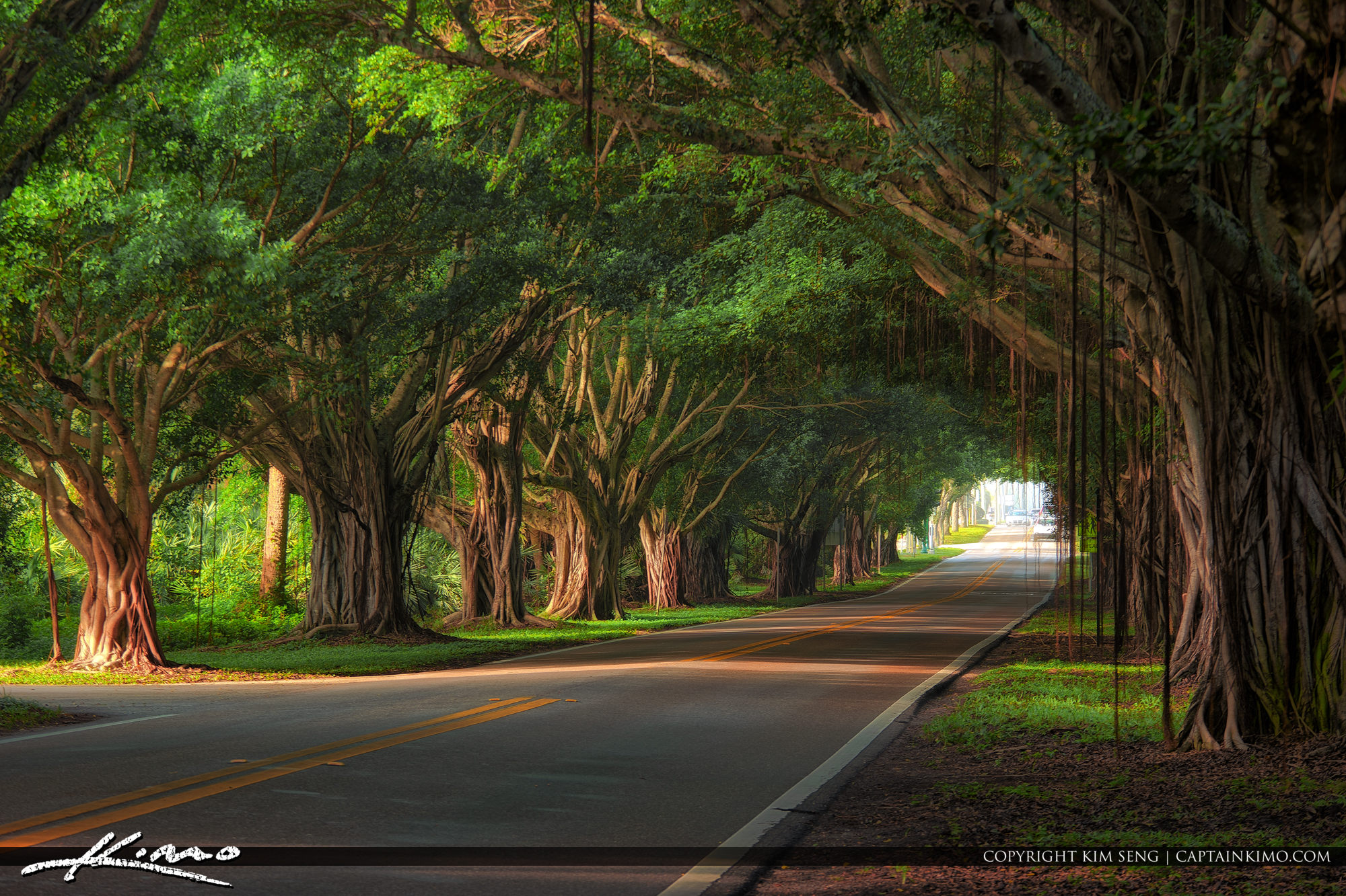 Ficus Trees On Bridge Road Hobe Sound Florida
