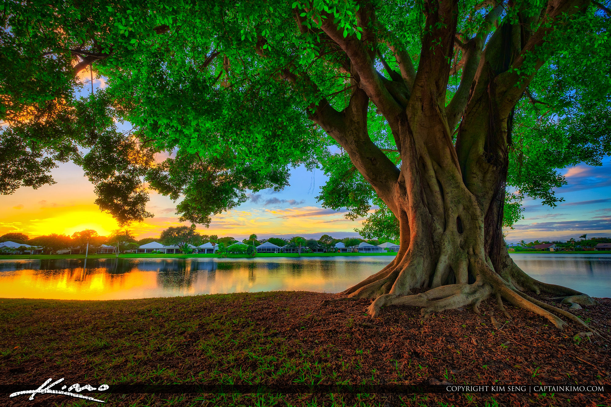 Ficus Tree at Lake Catherine during sunset over Palm Beach ...