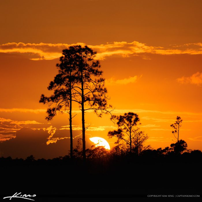 Sunset behind the Pine Trees in Jupiter Florida