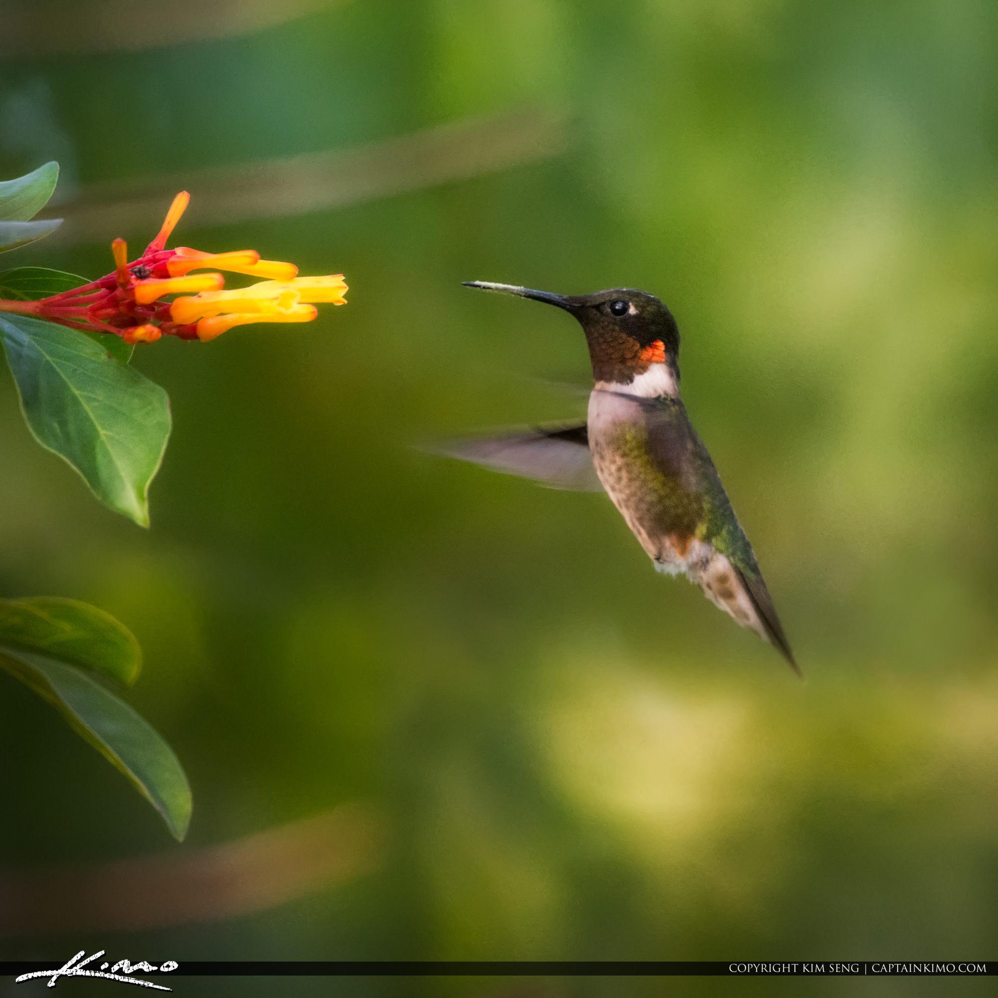Hummingbird Green Cay Boynton Beach Florida