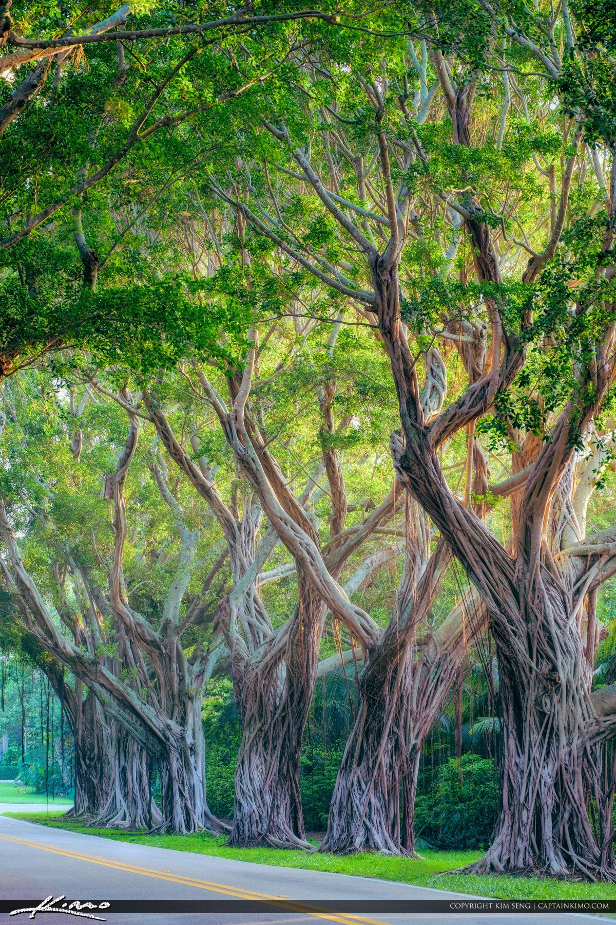 Hobe Sound Bridge Road Ficus Tree Strangler Vine
