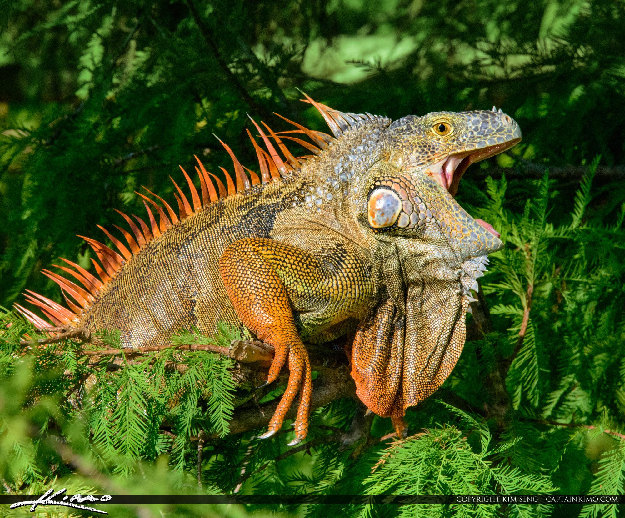 Wakodahatchee Wetlands Large Iguana South Florida Invasion