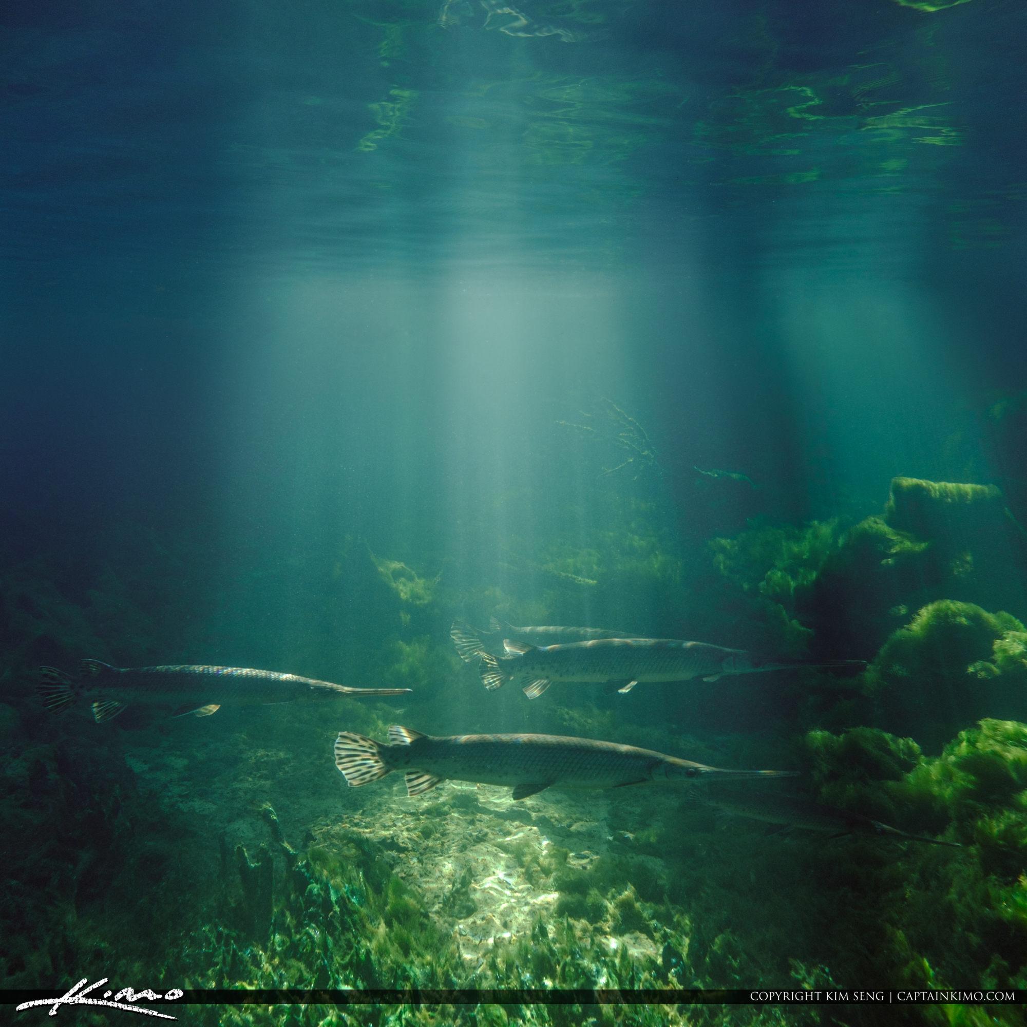 Blue Springs State Park Underwater with Alligator Gars