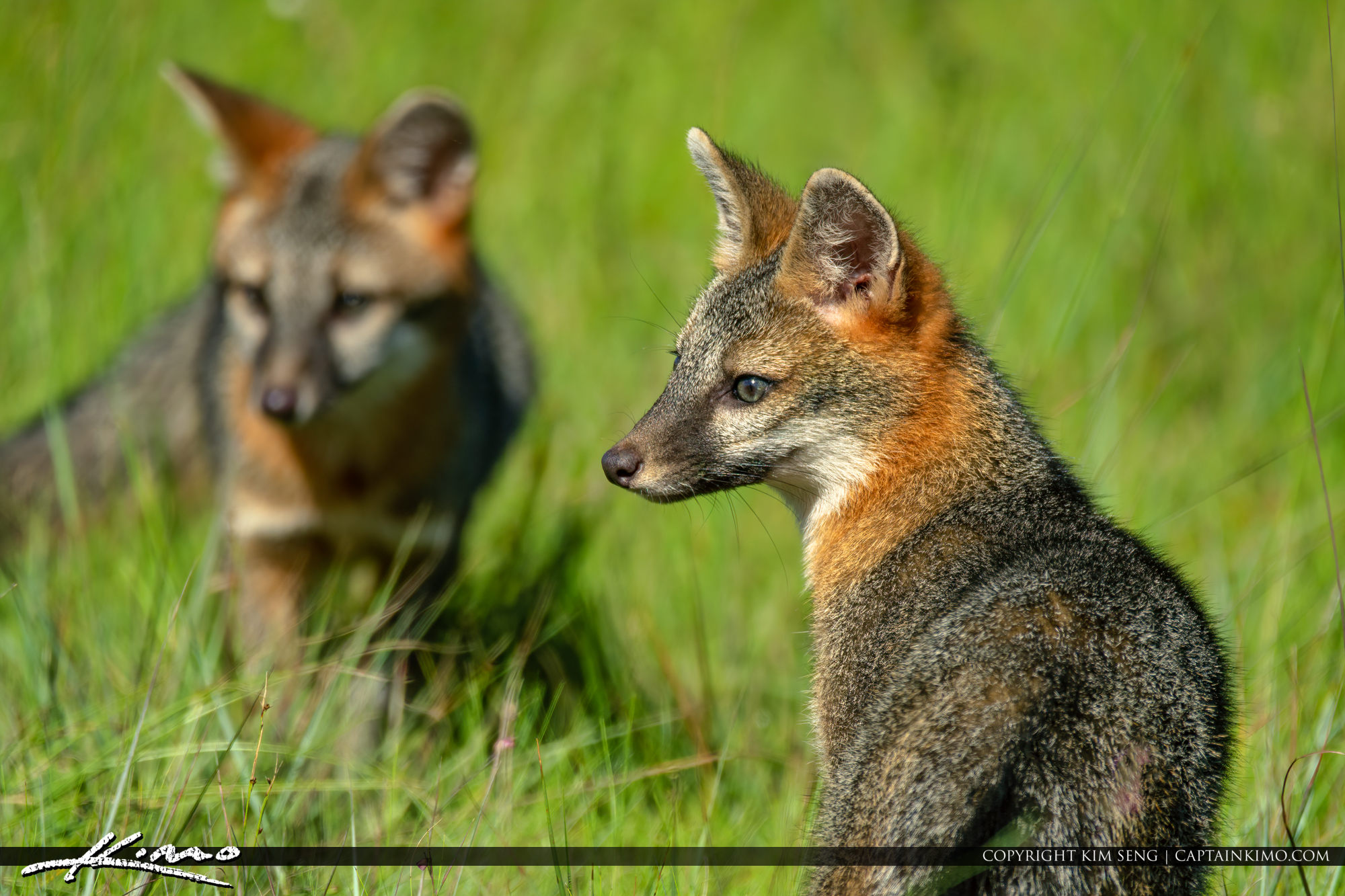Gray Fox Release Busch Wildlife Sanctuary August 2019