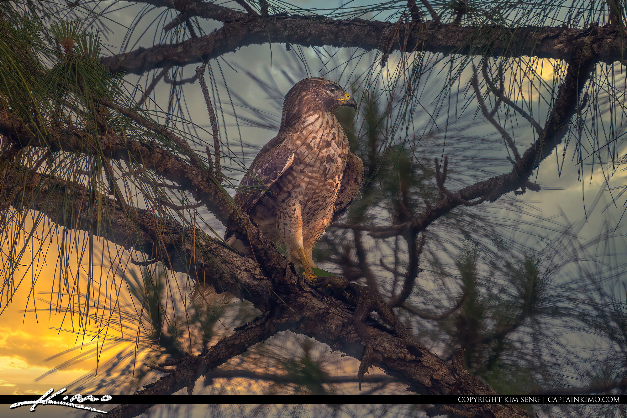 Red-shouldered hawk with Cane Toad on Florida Pine Tree Loxahatchee