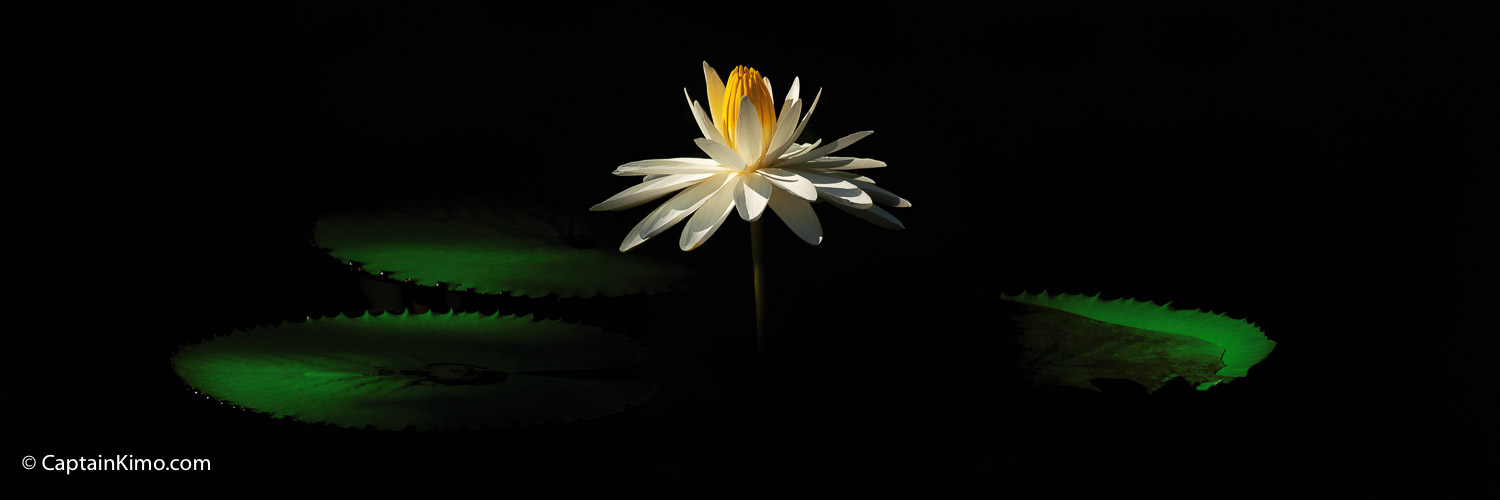 White Lily Flower Panorama