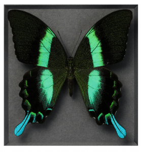 Lime Gloss Swallowtail 11x14