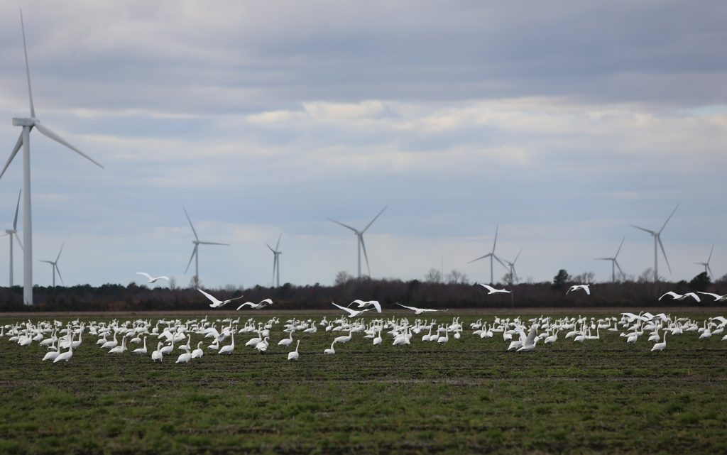 Birds gather near the turbines at the Amazon Wind Farm near Elizabeth City. Energy from the 208-megawatt project is not counted as part of the state's Renewable Energy Portfolio Standards. (CJ photo by Don Carrington)