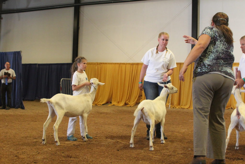 Judging entries at the N.C. State Fair's Goat Show (Photo from N.C. State Fair archives)