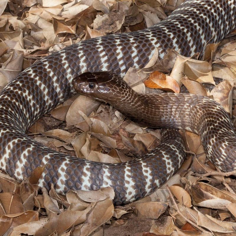 Image from the African Snake Bite Institute (https://www.africansnakebiteinstitute.com/snake/zebra-cobra/).