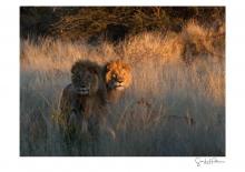 Lions - 1