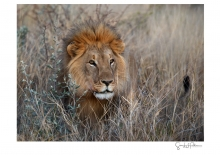 Lions - 4
