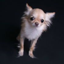 Chihuahua Begging by Zosh.P