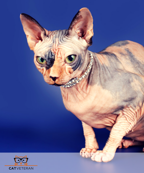Egyptian Hairless Cat