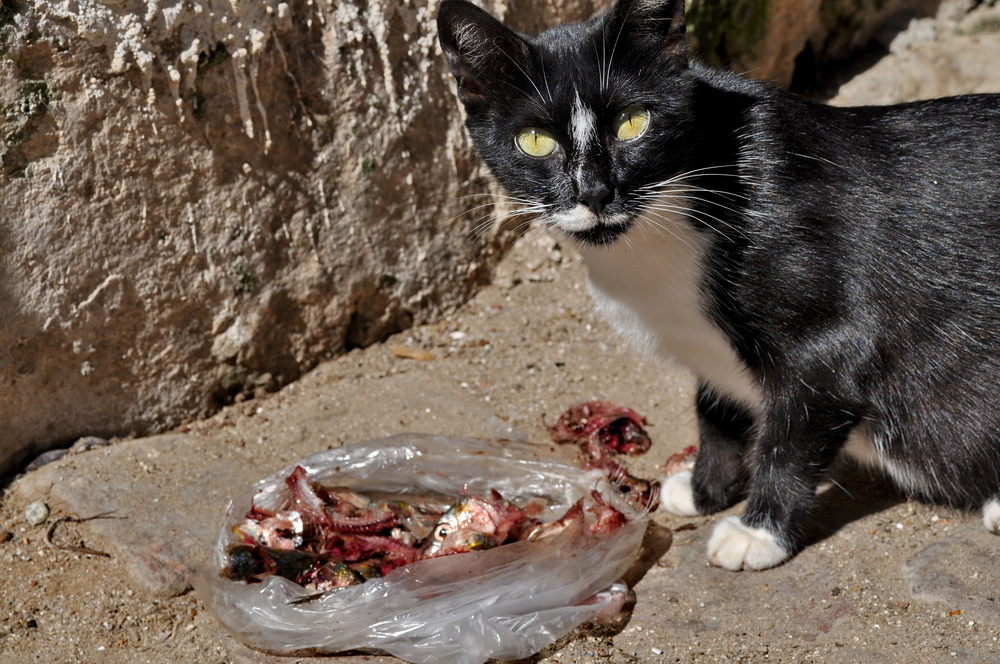 Cat Eating Raw Meat On The Street