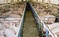 Index_pig_farm_large