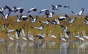 Aside_poyang_lake_white_cranes_china_0503_large