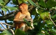 Aside_sarawak_proboscis_monkey