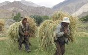 Aside_ladakhi_farmers_with__barley_harvest_large