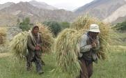 Aside_ladakhi_farmers_with__barley_harvest_large