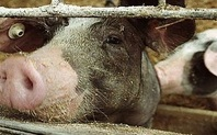 Index_pig_farming_426