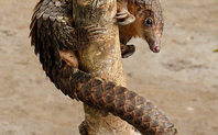 Index_pangolin