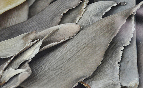 Chinese demand for shark fin devastating Mozambique coast