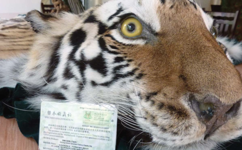 China criticised over tiger farms and illegal ivory