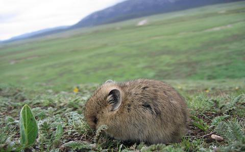 专家呼吁停止在三江源灭鼠