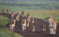 Index_african_lionesses__panthera_leo__-_hi_287384_meitu_1