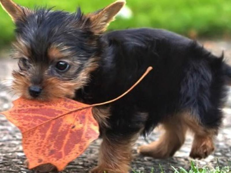 11 Things Only Yorkshire Terrier Owners Understand American Kennel
