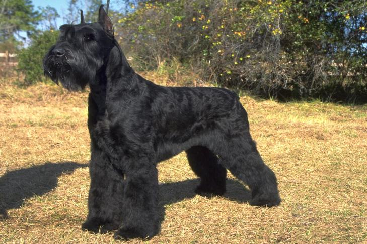 Giant Schnauzers 10 Facts About Those Loyal Imposing Working Dogs