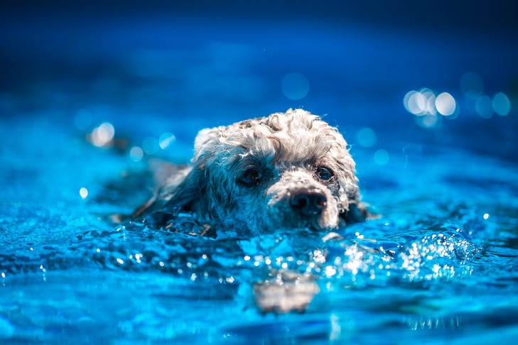 Dog swimming in the pool in the summer day.
