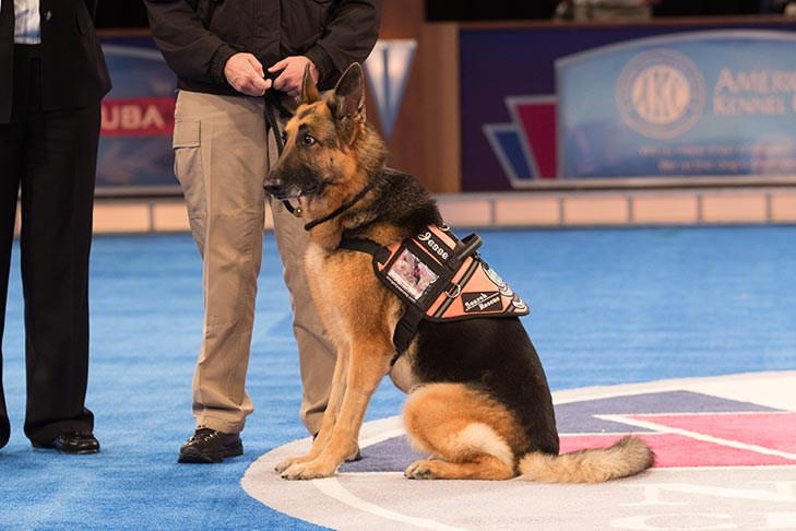 "Search and Rescue Dog: ""Jesse,"" a German Shepherd Dog owned and handled by Susan Condreras."
