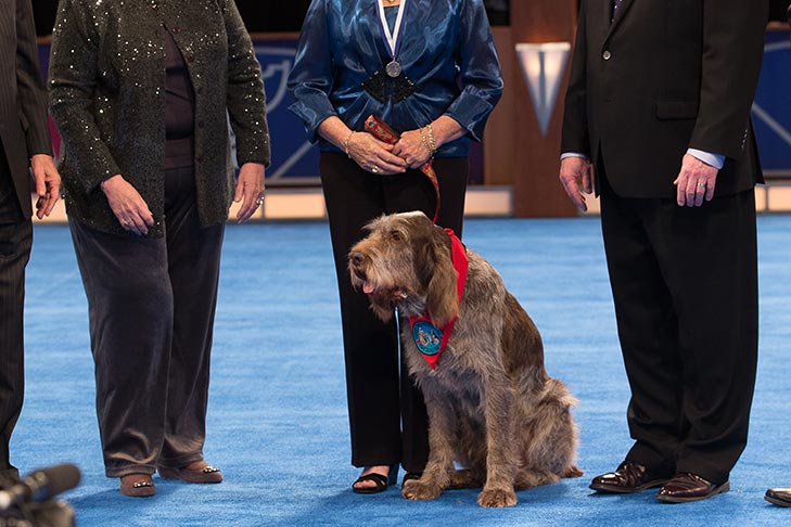 "Therapy Dog: ""Drago,"" a Spinone Italiano owned by Lauren Friedman and Chris Sweetwood."